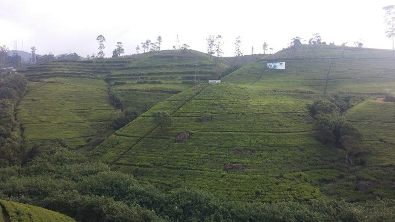 kraina herbaty